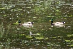 Ducks la natura fotografia stock libera da diritti