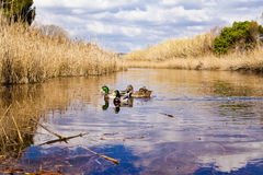 Ducks in lagoon royalty free stock images