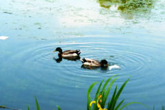 Ducks In Lake. Two ducks that are floating in a lake Stock Images