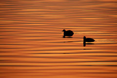 Ducks in the lake Royalty Free Stock Image
