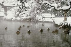 Ducks in the lake. Stock Images