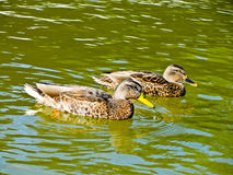 Ducks on the lake. Two ducks swimming in a lake Royalty Free Stock Photos