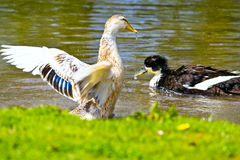 Ducks in lake. Mallard, Wild Duck, Anas platyrhynchos flying and swiming in the water Stock Photography