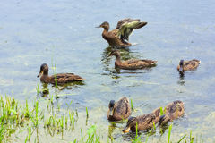 Ducks on the lake. Group of mallard ducks on the lake Stock Photos