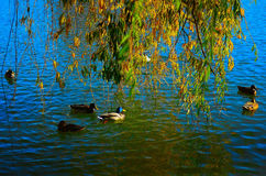 Ducks on the lake royalty free stock images