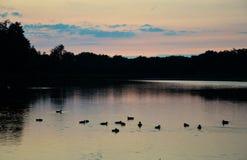 Ducks on Lake Royalty Free Stock Photo