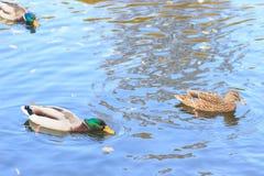 Ducks in the lake. Autumn Stock Photos