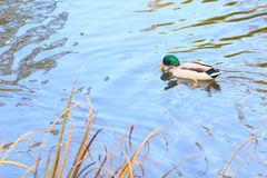 Ducks in the lake. Autumn Stock Images