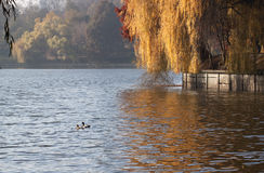 Ducks on the lake - RAW format Stock Images