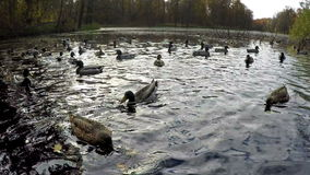 Ducks in  lake and the autumn forest stock footage