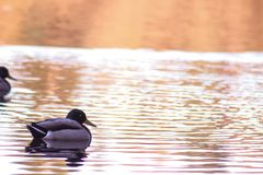 Ducks on the lake in autumn. Water mirror. Sunset. stock images