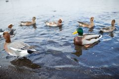 Ducks in lake Stock Photos