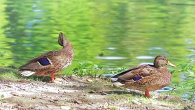 Ducks by the lake. On a beautiful summer day in Maksimir Zagreb stock video