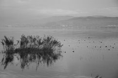 Ducks in the lake birds at the sky black & white Royalty Free Stock Photo