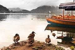 Ducks on lake. Bled, Slovenia. Ducks on lake with excursion boats on background. Bled, Slovenia, Popular touristic destination Stock Images