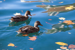 Ducks on lake Bled Royalty Free Stock Photos