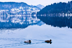 Ducks on lake Bled Stock Photos