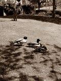 Ducks at a lake Stock Photo