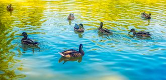 Ducks on the lake Royalty Free Stock Photos