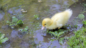 Ducks on lake Stock Image