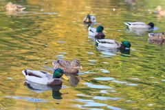 Ducks in the lake. Autumn Royalty Free Stock Photography