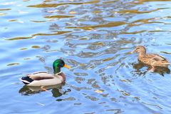 Ducks in the lake. Autumn Royalty Free Stock Image