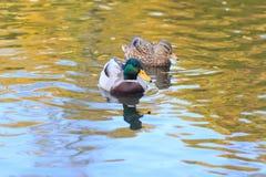 Ducks in the lake. Autumn Stock Photography