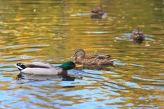 Ducks in the lake. Autumn Stock Image