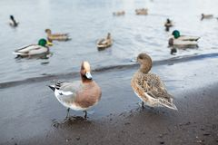Ducks and lake Royalty Free Stock Images