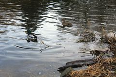 Ducks on the lake. Ducks on the Malta lake in Poznan, Poland Royalty Free Stock Photography