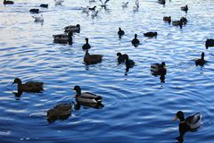 Ducks on the lake. Ducks on the Malta lake in Poznan, Poland Royalty Free Stock Photo