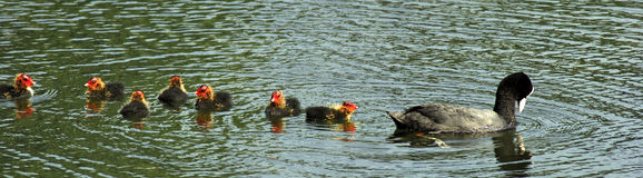 Duck string. Ducks on a lake early morning Stock Image