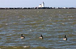 Ducks on Lake Erie in front of Lighthouse, Cleveland, Ohio. Lake Erie Ducks head towards Lighthouse, Lake Erie Royalty Free Stock Photography