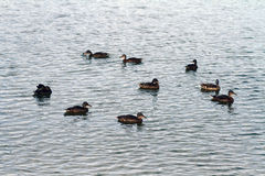 Ducks on the lake Royalty Free Stock Photography