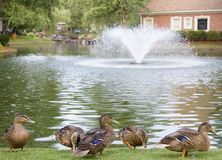 Ducks by Lake with Fountain Stock Photos