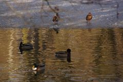 Ducks, and lake is frosted. Ducks which swim in a lake frozen with an icy water. It is in the day and in winter season. Shooting without character, outdoor. Pond Royalty Free Stock Photos