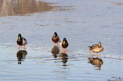 Ducks on lake - RAW format Royalty Free Stock Photo