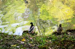 Ducks on the lake of the garden Stock Photography