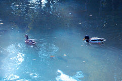 Ducks in the lake of the garden park Infante Don Pedro, Aveiro. Portugal Stock Photography