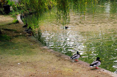 Ducks in the lake of the garden park Infante Don Pedro, Aveiro. Portugal. Europe Stock Photo