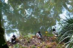Ducks in the lake of the garden park Infante Don Pedro, Aveiro. Portugal. Europe Royalty Free Stock Photos