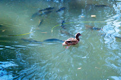 Ducks in the lake of the garden park Infante Don Pedro, Aveiro. Portugal Royalty Free Stock Photo
