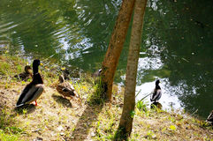 Ducks in the lake of the garden park Infante Don Pedro, Aveiro. Portugal Stock Images