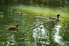 Ducks in the lake of the garden park Infante Don Pedro, Aveiro. Portugal Stock Image
