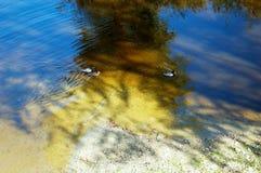 Ducks in the lake of the garden park Infante Don Pedro, Aveiro. Portugal. Europe Stock Photos