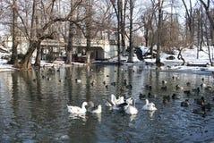 Ducks on lake - RAW format Stock Photography