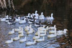 Ducks on lake Royalty Free Stock Photography