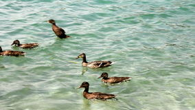 Ducks on the lake. Group of ducks swimming on the lake stock footage