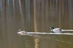 Ducks on the lake. Stock Photos