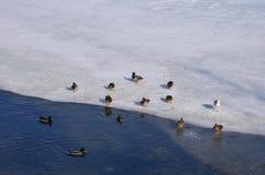 Ducks on lake ice Royalty Free Stock Image